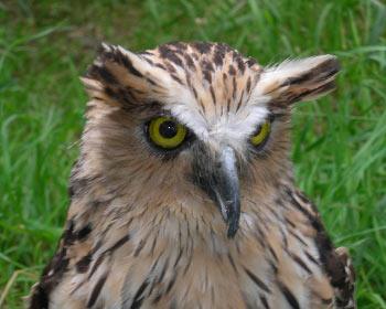 Owl at Muncaster Castle, Ravenglass, Lake District