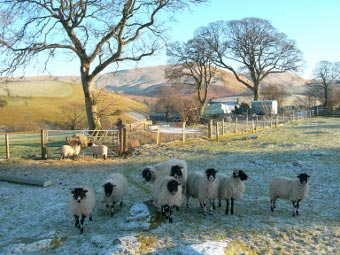 Sheep in the Uldale area, Lake District