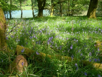 Bluebells in Holme Wood, Loweswater