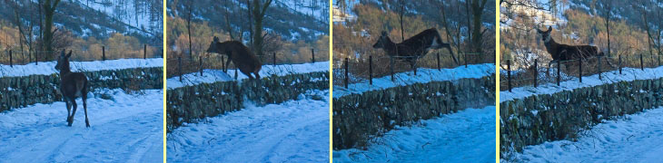 Deer jumping over the wall at Thirlmere