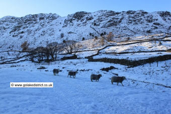 Sheep marching single file at Thirlmere